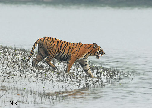 The Sundarbans mangrove forest has probably one of the largest populations of wild tigers left in the world.