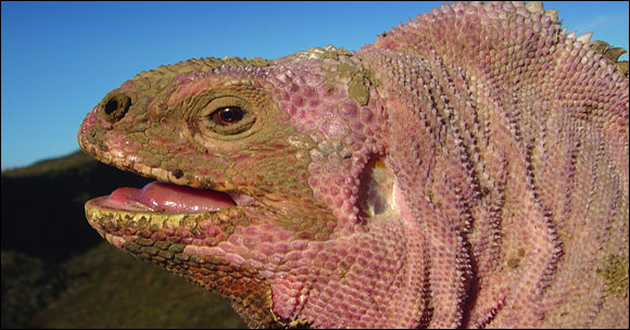 The pink iguana lives exclusively on the Wolf Volcano, the highest on the islands.