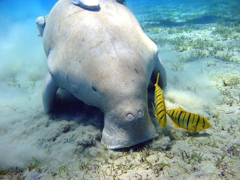 In the United Arab Emirates, the dugong is known locally as baqr al bahar.