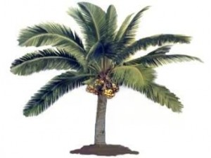 "Called the ""tree of life"" in the Philippines, all parts of the Coconut Palm (Cocos nucifera) has uses."