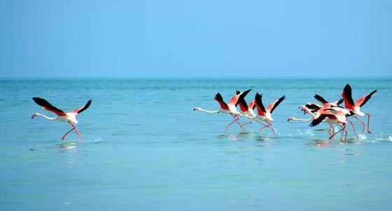 Flamingos: Copyright EAD-Suaad Al Harthi.