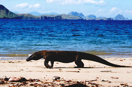 Komodo Island, home of the Komodo dragon, the largest lizard on earth, has been confirmed officially as one of the New7Wonders of Nature.