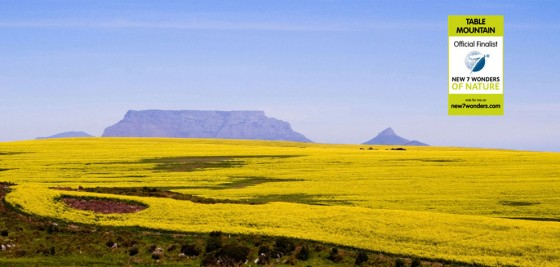 Table Mountain is one of the New7Wonders of Nature and the natural home to fynbos, a unique, endangered, collection of shrubs and plants.