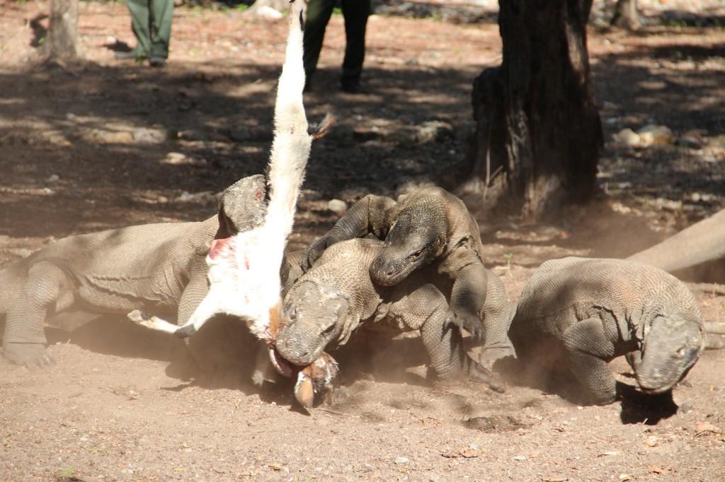 Komodo dragons in feeding frenzy